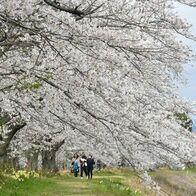 日光連山背に満開 栃木・西方、金崎の桜…