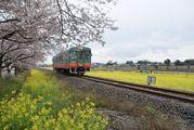 菜の花と桜が癒し 真岡鉄道の北真岡駅周辺 slは新型コロナ対策で運休中