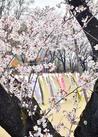 こいのぼりと桜 春奏でる 壬生町総合運…