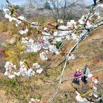 2年ぶり復活の彩り 茂木の「花の山」、…