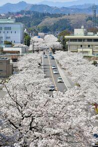鹿沼さつき通りの桜並木