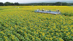 ひまわり 畑 那須