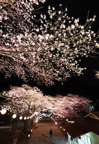 鬼怒川温泉で夜桜ライトアップ