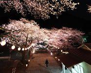 鬼怒川温泉 夜桜ひっそり ライトアップ…