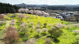 小宅古墳群の桜と菜の花 益子