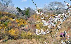 「花の山」で春の花々見頃 茂木