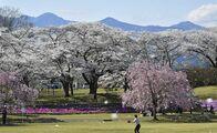 桜吹雪、高原山と競演 矢板の長峰公園