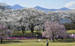 矢板・長峰公園の桜が見頃